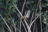 翠鳥 Common Kingfisher:IMG_4976.JPG