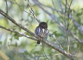 鵂鶹Collared owlet:A23P0198.jpg