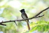 亞洲綬帶 Asian Paradise-flycatcher:IMG_2828.JPG