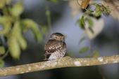 鵂鶹Collared owlet:A23P9001.jpg