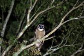 褐林鴞 Brown Wood Owl:A23P4390.jpg