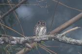 鵂鶹Collared owlet:IMG_9715.JPG