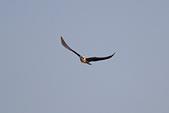 黑翅鳶 Black shouldered kite:IMG_0245.jpg