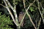 褐林鴞 Brown Wood Owl:A23P7311.JPG