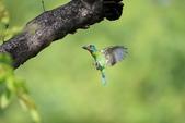 五色鳥:A23P9124.jpg