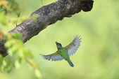 五色鳥:A23P9162.jpg