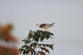 黑翅鳶 Black shouldered kite:IMG_2349.JPG