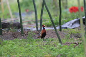 2014 環頸雉 Common Pheasant:A23P6064.JPG