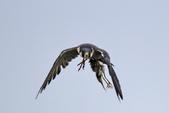遊隼 Peregrine Falcon:IMG_6344.jpg