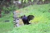 黑長尾雉 Mikado Pheasant:IMG_8233.jpg