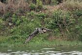 2012 魚鷹 Osprey:IMG_1267.jpg