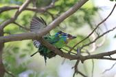 五色鳥交尾:IMG_5288.JPG