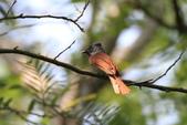 亞洲綬帶 Asian Paradise-flycatcher:IMG_2854.JPG