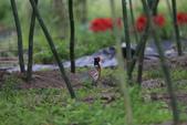 2014 環頸雉 Common Pheasant:A23P6070.JPG