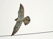 遊隼 Peregrine Falcon:IMG_8647.jpg