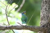 五色鳥:IMG_1184.JPG