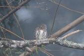 鵂鶹Collared owlet:IMG_9719.JPG