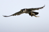 遊隼 Peregrine Falcon:IMG_6347.jpg