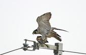 遊隼 Peregrine Falcon:IMG_8852.jpg
