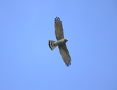 灰面鵟鷹 Grey-faced Buzzard:A23P3079.jpg