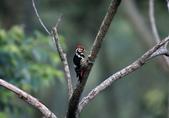 大翅啄木 White-backed Woodpecker:A23P8795.jpg