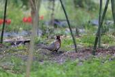 2014 環頸雉 Common Pheasant:A23P6085.JPG