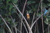 翠鳥 Common Kingfisher:IMG_4977.JPG