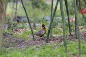 2014 環頸雉 Common Pheasant:A23P6094.JPG