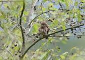 鵂鶹Collared owlet:A23P8973.jpg