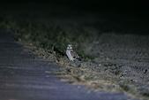 短耳鴞 Short-eared Owl:A23P9855.jpg