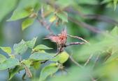 枌紅鸚嘴 Vinous-throated Parrotbill:A23P5701.jpg