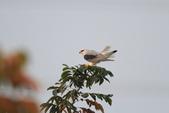 黑翅鳶 Black shouldered kite:IMG_2351.JPG