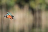 翠鳥 Common Kingfisher:IMG_5770.JPG
