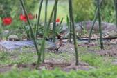 2014 環頸雉 Common Pheasant:A23P6105.JPG