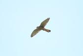 紅隼 Common Kestrel:IMG_1407.JPG