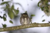 鵂鶹Collared owlet:A23P8939.jpg