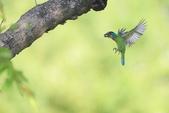 五色鳥:A23P8607.jpg