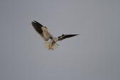 黑翅鳶 Black shouldered kite:IMG_0214.JPG