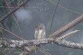 鵂鶹Collared owlet:IMG_9723.JPG