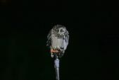 短耳鴞 Short-eared Owl:A23P3773.jpg