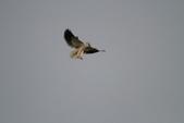 黑翅鳶 Black shouldered kite:IMG_0188.JPG