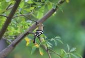 戴勝 Common Hoopoe:A23P4940.jpg