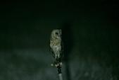草鴞Grass Owl:A23P6968.jpg