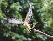 2014 蜂鷹 Oriental Honey Buzzar:A23P1289.jpg