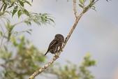 鵂鶹Collared owlet:A23P9533.jpg