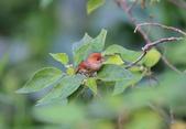 枌紅鸚嘴 Vinous-throated Parrotbill:A23P5693.jpg