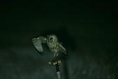 草鴞Grass Owl:A23P6972.jpg