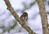 鵂鶹Collared owlet:A23P8801.jpg