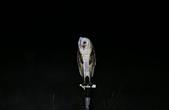 草鴞Grass Owl:A23P0349.jpg