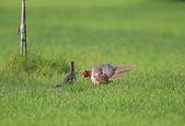 環頸雉 Common Pheasant:A23P1552.jpg